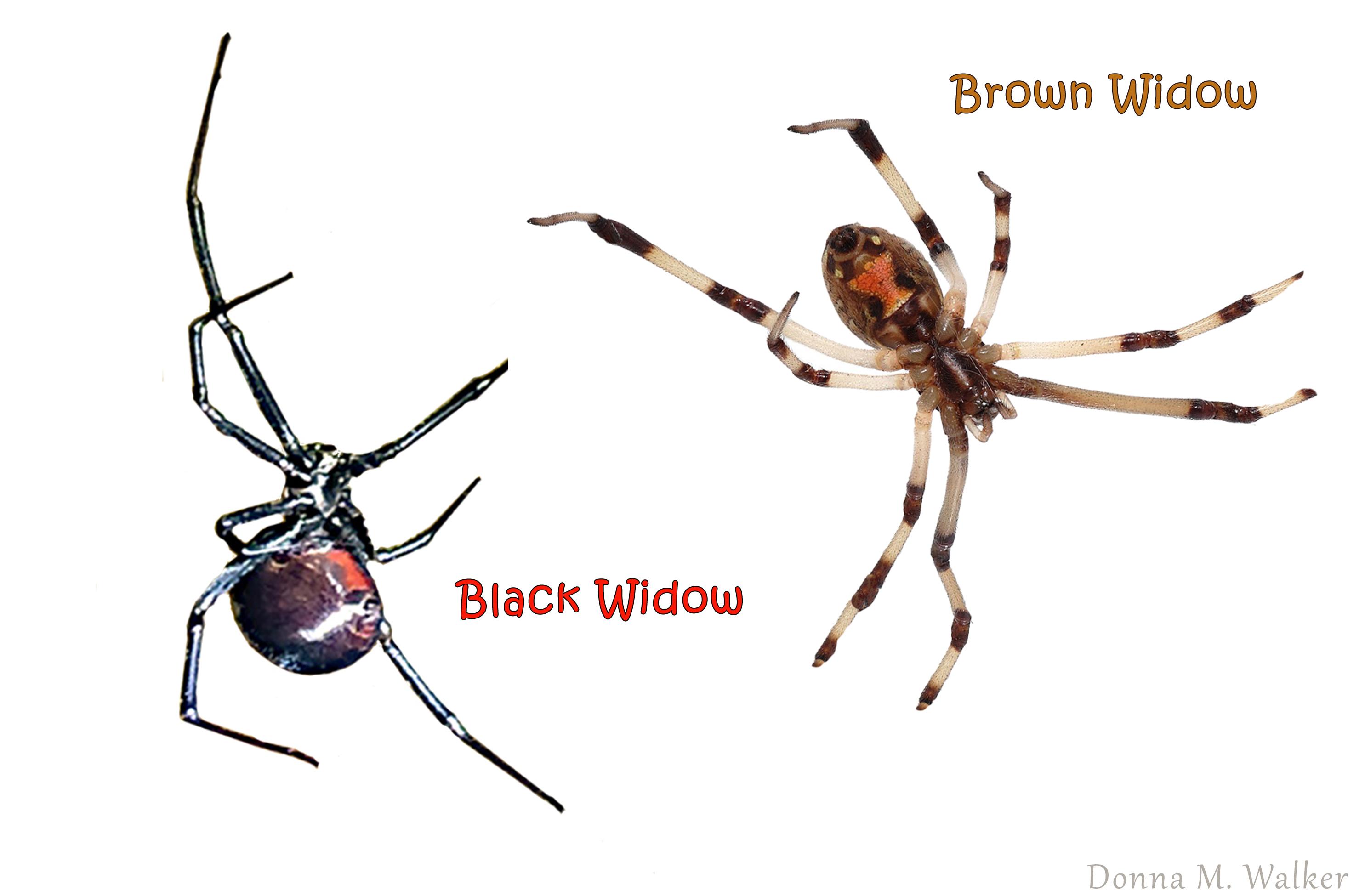 Black and Brown Widow Spiderskopie