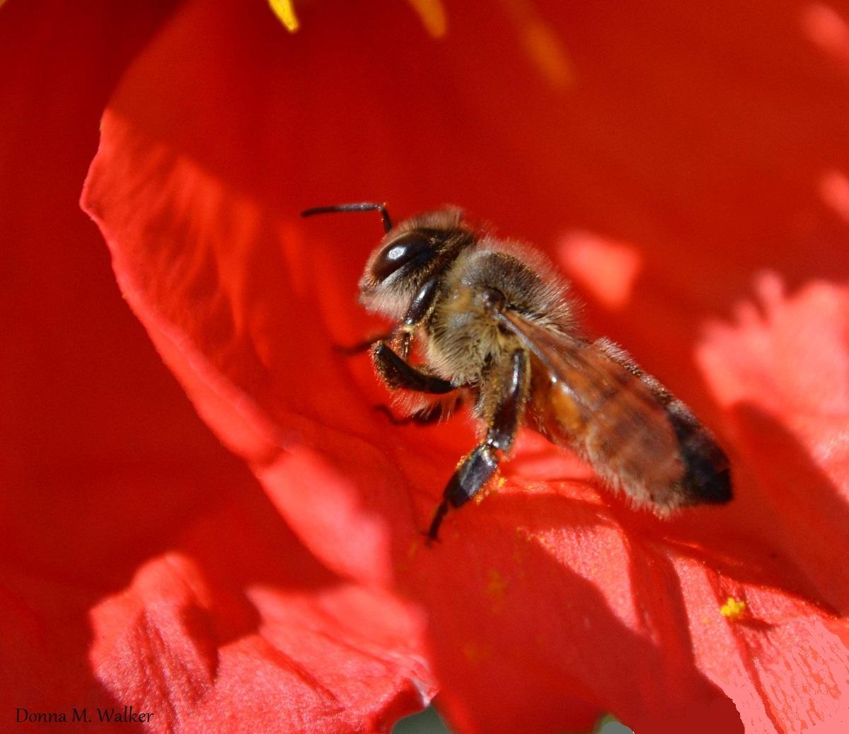 Honey bee on red poppy flower