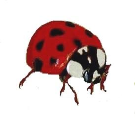 small asian ladybug