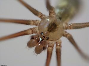 Face of Cellar Spider