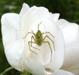 Green Lynx Spider on Rose
