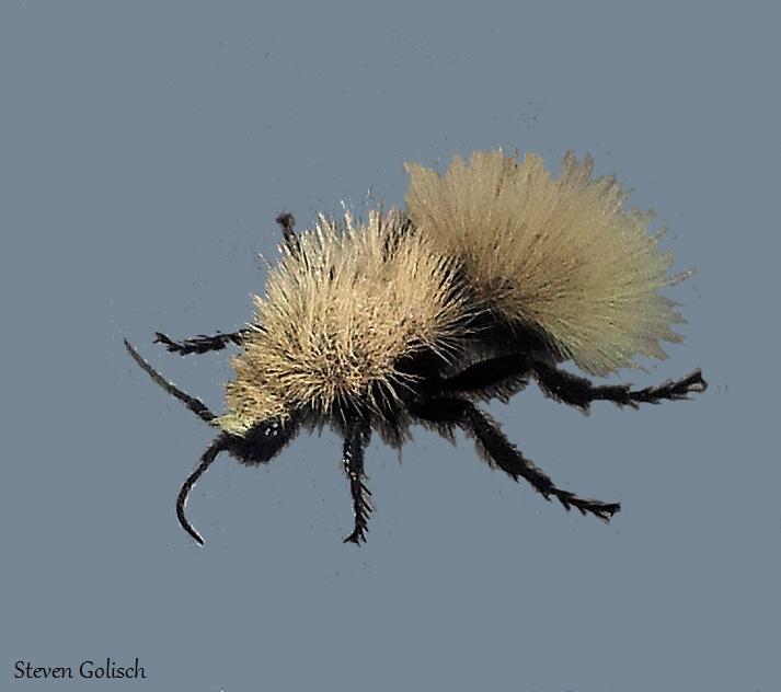 Fuzzy white velvet ant